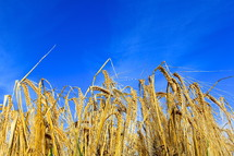 Ripe wheat against bright blue sky