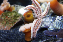 Starfish swimming in an aquarium.