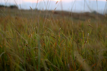 tall grasses in a field