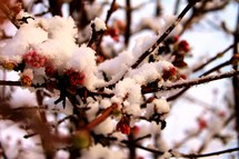 snow on flowers on a tree