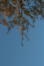 autumn leafs on a tree