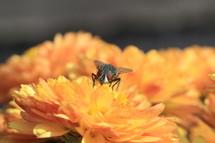 house fly on a mum flower