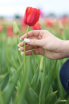 a woman picking a red tulip