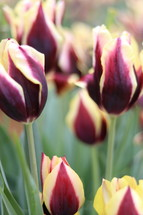 magenta and yellow tulips