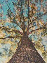 looking up to the top of a tree