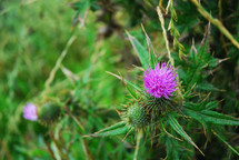 Prickly purple thistle flower.