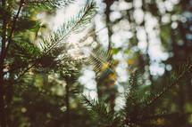 spiderweb in a pine tree