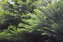 green evergreen