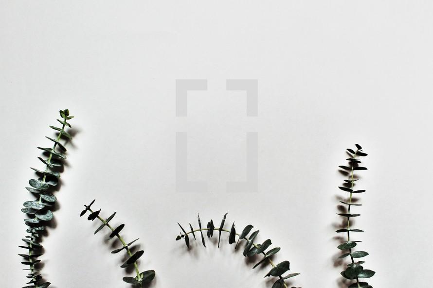 green eucalyptus sprigs