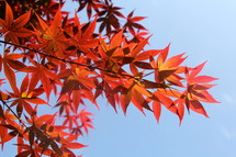 Red and orange fall foliage, leaves