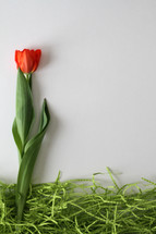 single red tulip on a white background