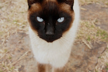 eyes of a siamese cat