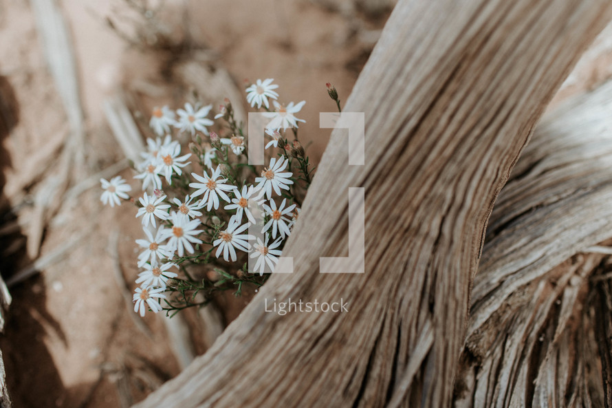 white daisies and logs