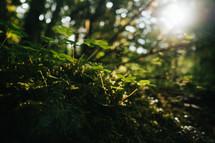 clovers in sunlight