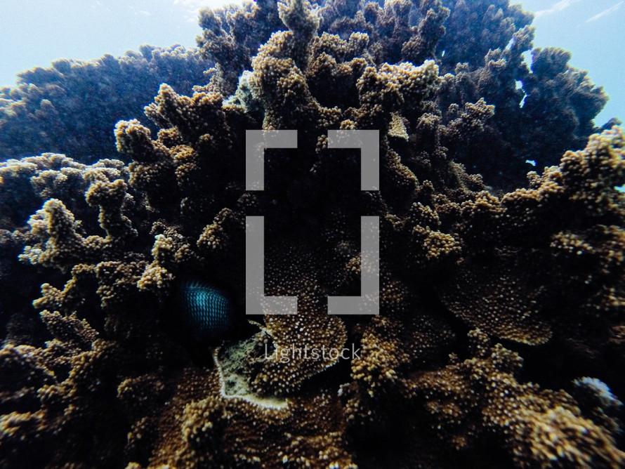 coral under water