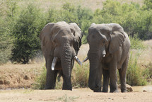 A pair of elephants near a waterhole in Africa