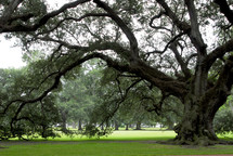 Large old Oak tree set in rolling green lawns