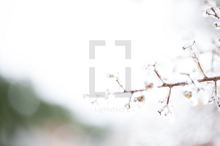 iced branch