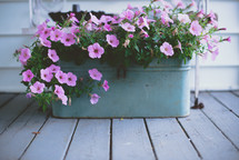 petunias in a flower box