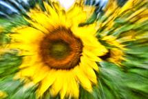 blurry sunflower