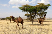camels eating leaves off of trees in Africa