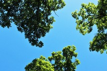 tops of green summer trees against a blue sky