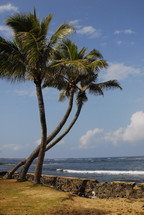 Palm trees near a wall by the ocean.