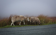 Two Sheep on the Road in the Mist, Ireland