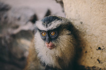 Nigerian monkey.