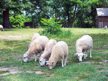 A small group or flock of sheep feed together in peace in a grassy green meadow on a rural farm in Virginia.
