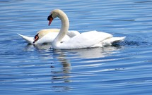 Two Swan birds gliding gracefully through a ripple of water on a reflecting pond on a sunny afternoon.