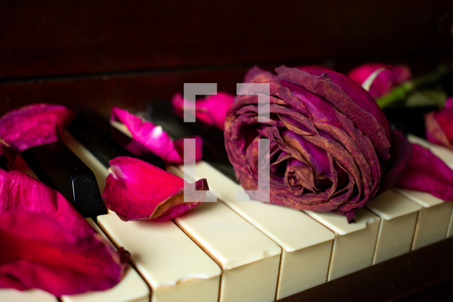 rose petals on a piano
