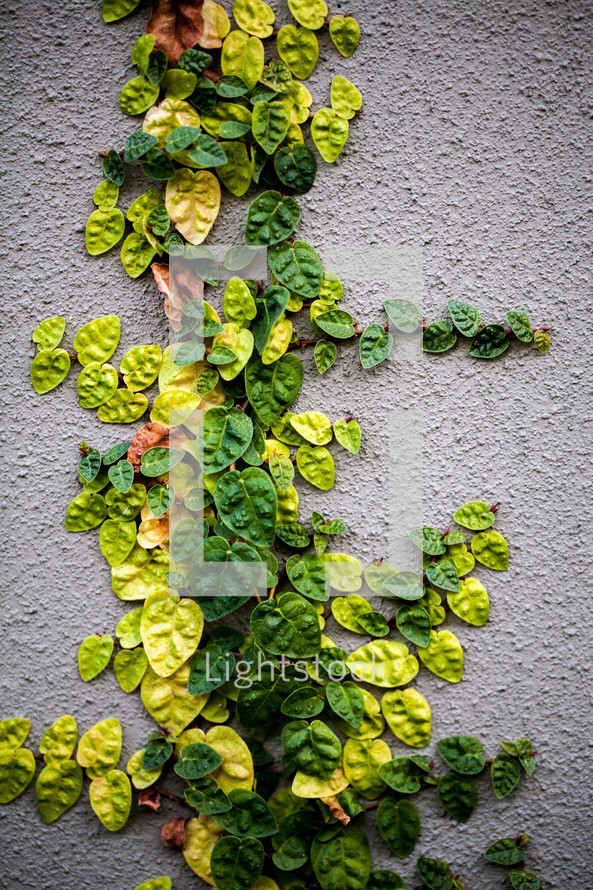 Ivy growing up a stucco wall.
