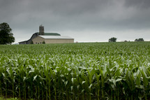 Farmhouse and grain silo behind a cornfield.