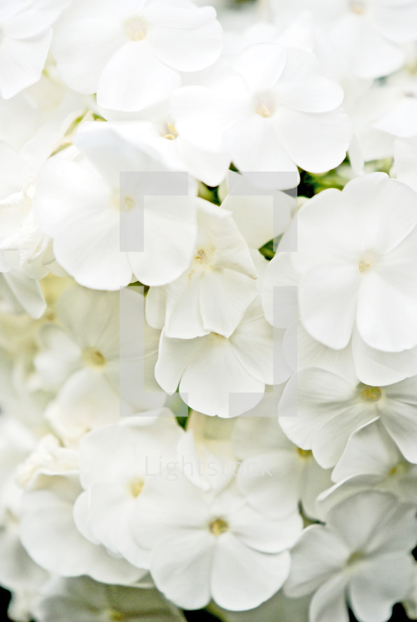 White Phlox flower closeup