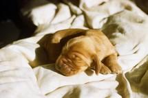 a newborn puppy on blankets