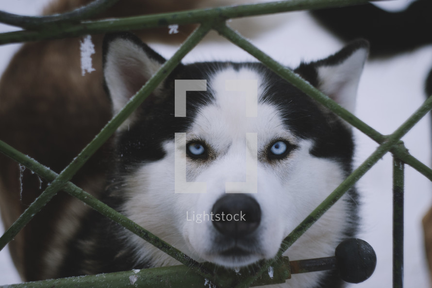 a husky standing behind an icy fence