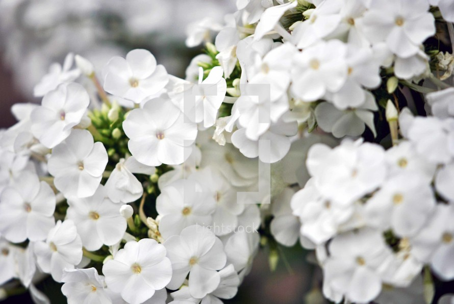 Clusters of white phlox flowers, closeup