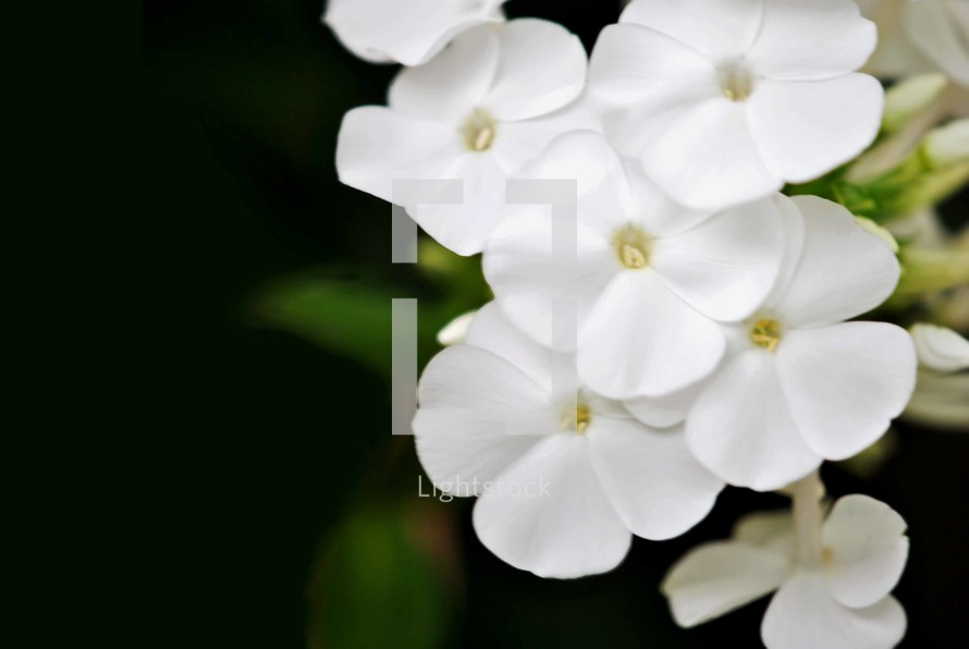 White phlox flowers, closeup.  Space for text.
