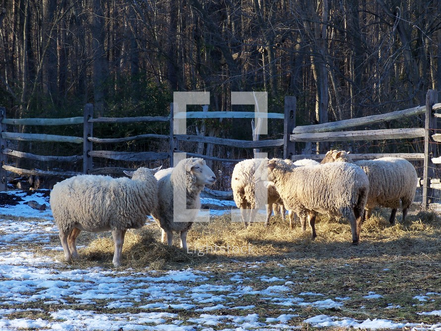 A flock of sheep grazing together on a farm while the snow melts around them by the warm sun.