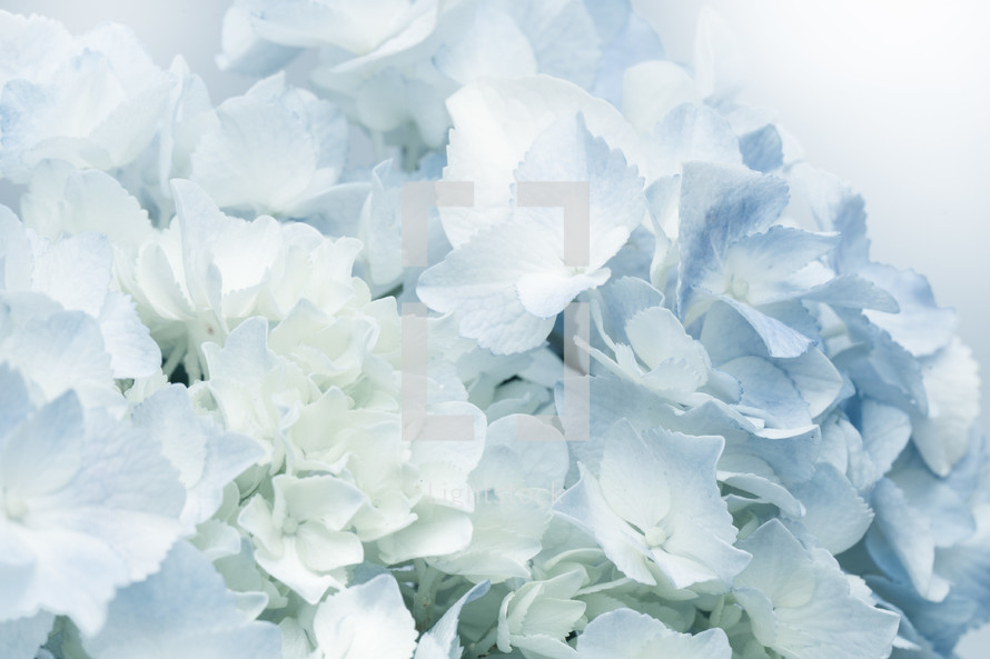 white and blue hydrangea