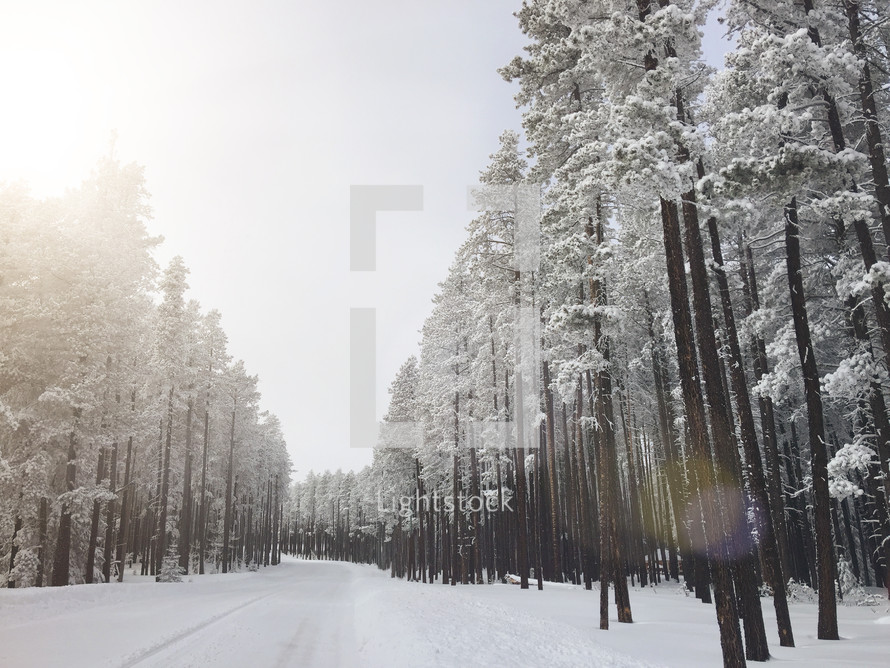 snowy road and winter trees