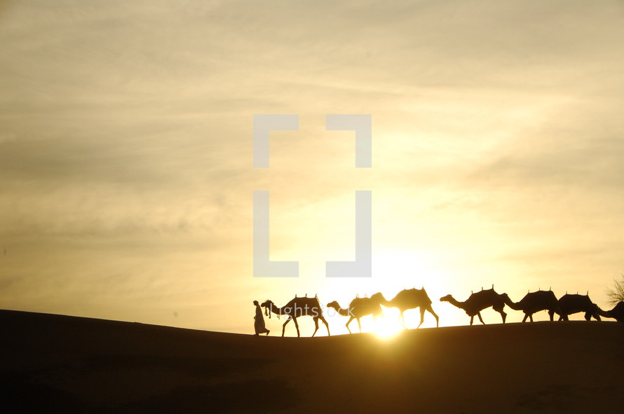silhouettes of camels in a desert