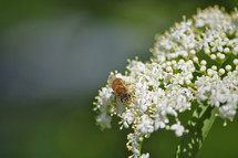 Bee on Elderberry