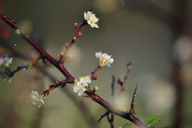 Flatwoods Plum Blossoms