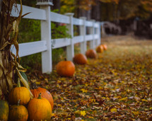 orange pumpkins in front of a white fence