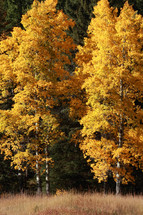 Yellow Fall trees