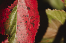red and green leaf