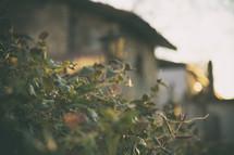 warm sunlight on green leaves on a bush