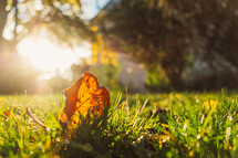 bright sunlight on a fall leaf in green grass